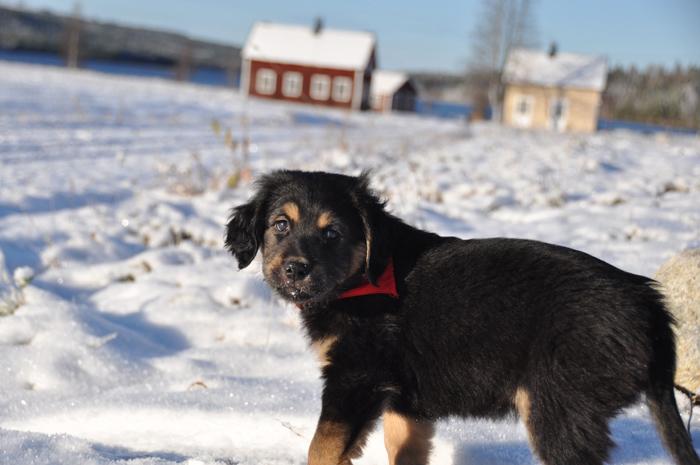 En liten Nanook som är ute på sin första promenad i snön, oktober 2010.