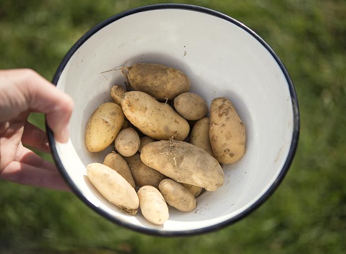 Ni kanske minns att tranorna förstörde mitt potatisland i somras? Som tur var klarade sig tre-fyra plantor så jag fick i alla fall potatis som räcker till en middag. Det ska jag äta i kväll!