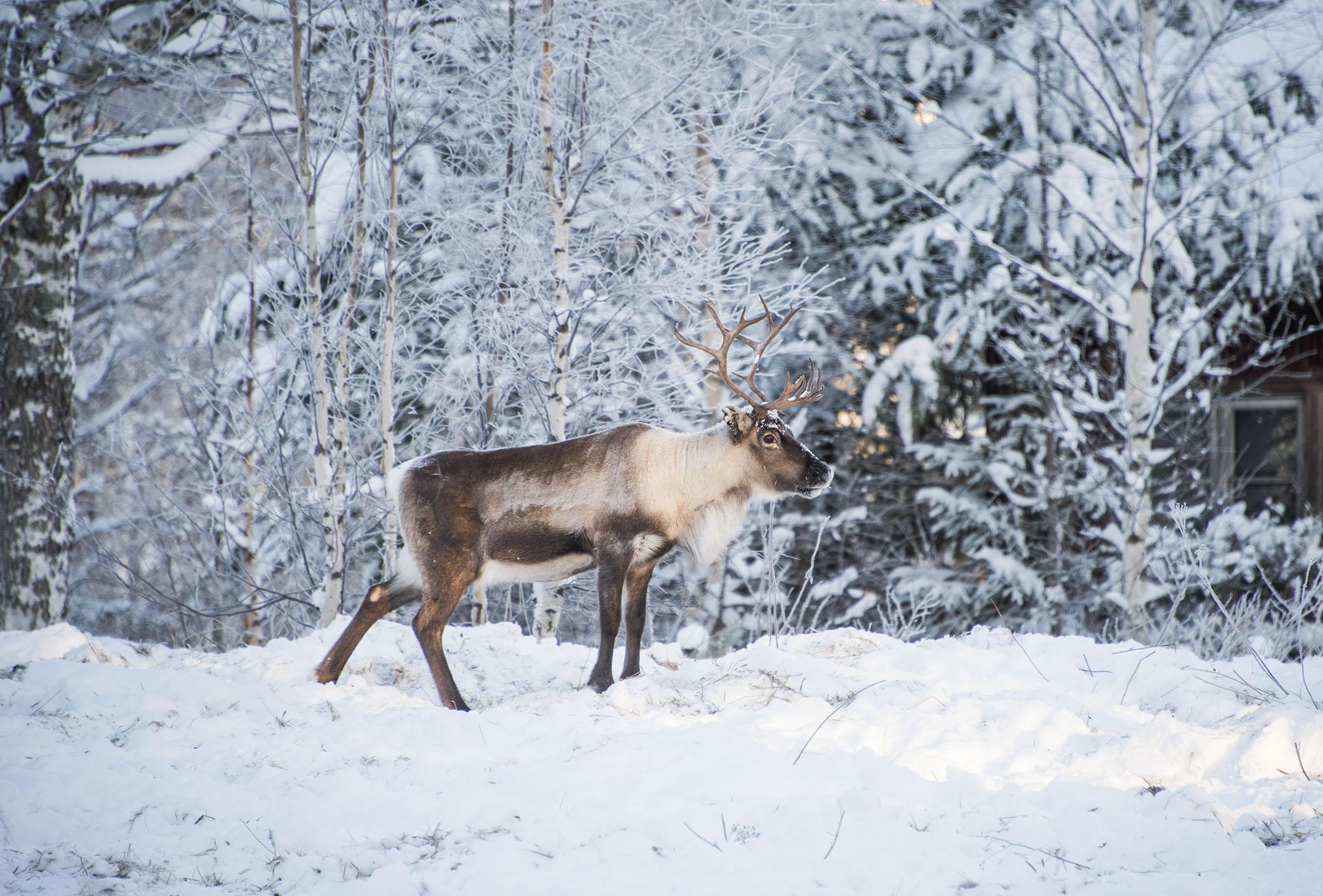 reindeer - jonna jinton