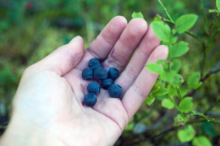 Åt blåbär i massor