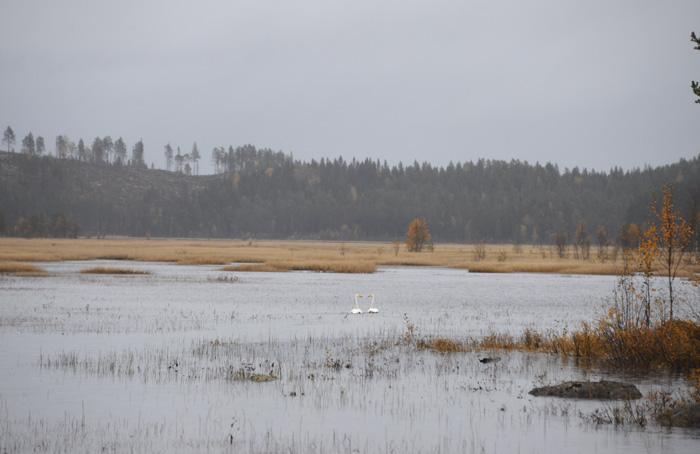 Jag såg också två vackra svanar på vägen hem. Jag rusade ut i regnet för att fota dem.