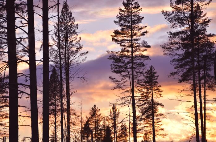 Vacker solnedgång i skogen!