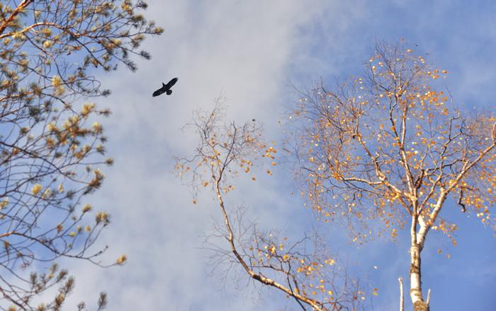 En vacker korp flög över oss.