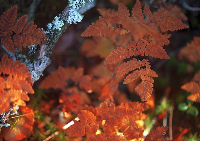 Bladen lyser upp som brinnande glöd i skogen.