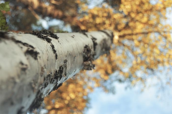 Guld i träden