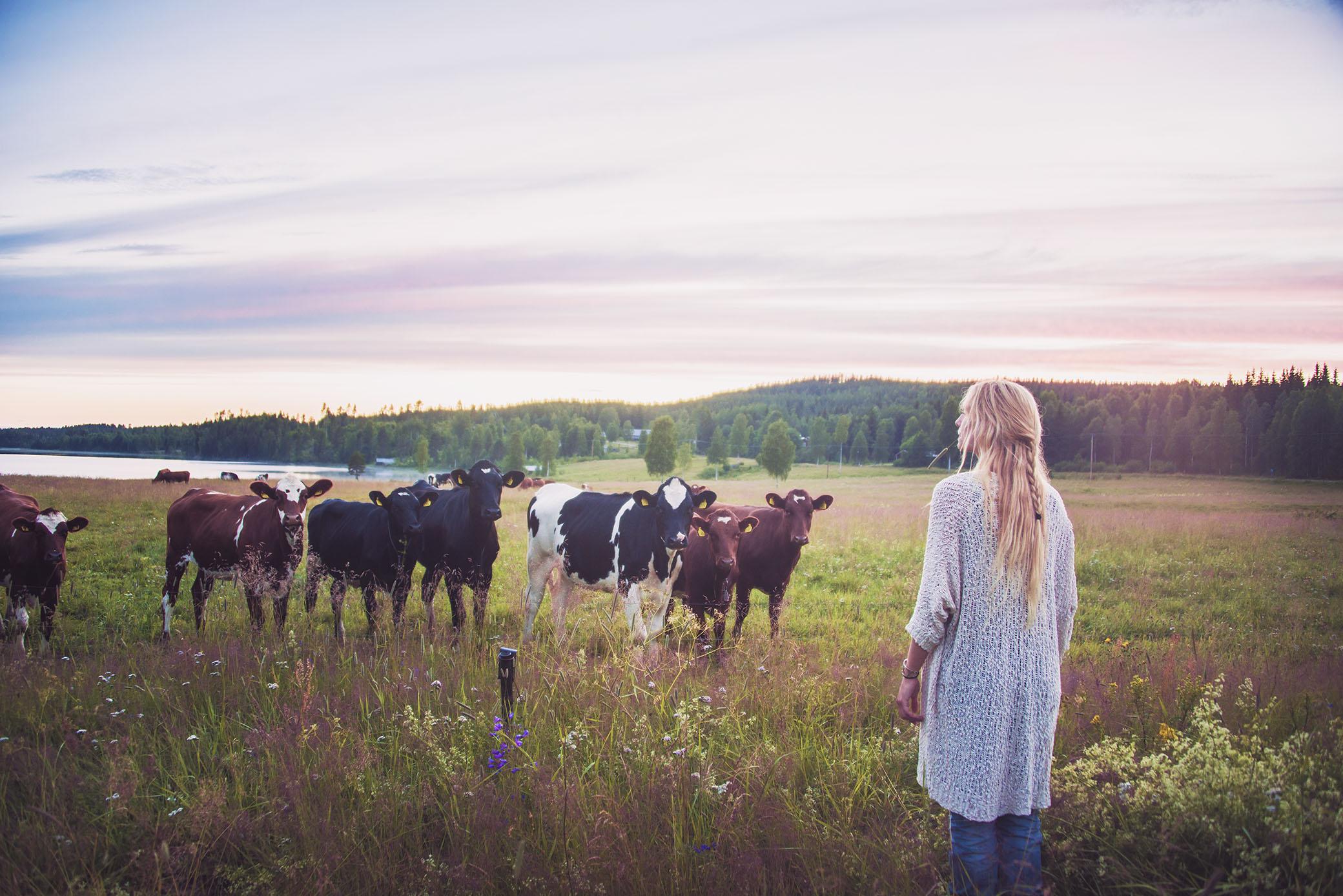 Blickar ut över Frida Bylunds kvigor som varje år får spendera sommaren här på ängarna i Grundtjärn. Frida Bylund bor i grannbyn Myckelgensjö och är även hon en ung mjölkbonde som kämpar och sliter ont mot de låga mjölkpriserna. Jag har äran att då och då få ta en kopp kaffe med henne och beundrar varje gång hennes ork till att fortsätta kämpa för de liv hon vill leva. Heja heja alla bönder där ute. Fy fasen vad ni gör det bra. Nu måste det bara till en förändring.